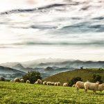 Paysages-de-Soule_brebis Lambarre_mini